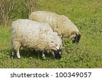 """Close to some browsing sheeps """"Heidschnucke"""" white horned heath - stock photo"""