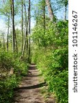 Spring fresh forest hiking trail  with birch trees. - stock photo