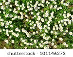Spring fresh forest flowers - wild chamomile. - stock photo