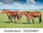Foal sucking mothers milk from mare - stock photo