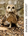 Young owl - stock photo