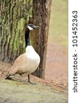 Canada geese (branta Canadensis) - stock photo