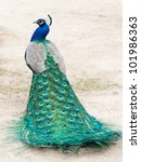 Peacock photographed from behind with colourful tail in foreground and head in profile in background. - stock photo