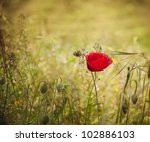 Floral background. Poppy flower in summer meadow. - stock photo