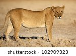 Lioness in soft morning light - stock photo