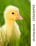 Cute little domestic gosling in green grass - stock photo