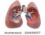 Lungs model - stock photo