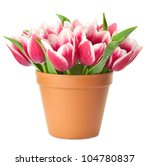 Flower Pot with pink Tulips / water drops / isolated on white background - stock photo