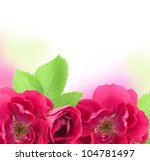 Beautiful  Rose Flowers  Background with copy space for text - stock photo
