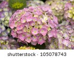 hydrangea flower head in bloom pink colour - stock photo
