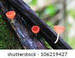 Champagne mushroom in rain forest, Thailand - stock photo
