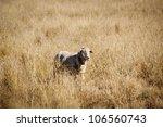 Sheep in long dry grass in rural Australia - stock photo