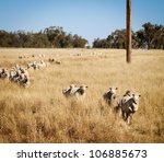 Sheep roam the large paddocks in rural Australia - stock photo