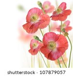 Red Poppy Flowers On White Background - stock photo
