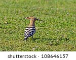 """Close to a hoopoe """"Upupa epops"""" in South Portugal - stock photo"""