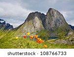 Tulip flowers in Arctic on Lofoten islands during short summer - stock photo