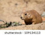 cute little prairie dog on sandy patch - stock photo