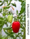 Fresh red ripe tomato on branch - stock photo
