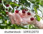 Hand gathering ripe cherries on a sunny day - stock photo