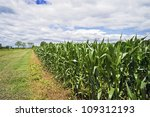 """""""Summer Cornfield"""" A wide angle view of a cornfield with a dramatic sky in Central, New Jersey. - stock photo"""