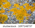 Lichen growing on coastal defences on the Isle of Grain, Kent United Kingdom to defend against a Nazi invasion of Britain - stock photo