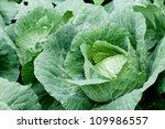 Cauliflower fields in Phutubberg Phetchabun Thailand after start new season of growth - stock photo
