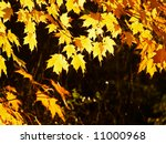 Glowing canopy of maple leaves backlit by the sun - stock photo