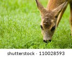 Young Roe deer - stock photo
