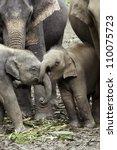 Gotcha!  Baby Asian elephants (Elephas maximus) wrestle with their trunks. - stock photo