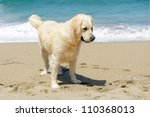 golden retriever on the beach - stock photo