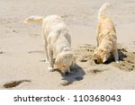 two golden retrievers on the beach - stock photo