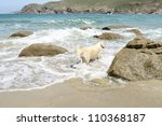 golden retriever on rocky beach and beautiful ocean - stock photo