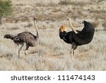 A male ostrich turning around to shout at a female ostrich - stock photo