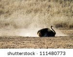 A male ostrich taking a dust bath in a dry riverbed - stock photo