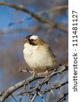 A white-browed sparrow-weaver sitting in the sun - stock photo