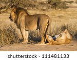 A pair of mating lions in the Kgalagadi Transfrontier Park - stock photo