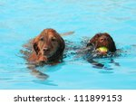 two retrievers at a public pool - stock photo