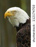 Bald Eagle Portrait - stock photo