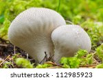 Two puffballs in the moss during the autumn - stock photo
