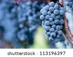 Red bunch of grapes in the vineyard - stock photo