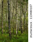 bog birch - stock photo