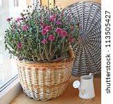 Bush of pink chrysanthemum in a basket and white wateringcan on a balcony - stock photo