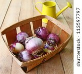 Basket with the bulbs of hyacinths and yellow watering-can - stock photo