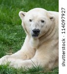 Male polar bear (Ursus maritimus) closeup - stock photo