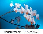 orchid with blue background - stock photo
