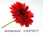 beautiful red gerbera isolated on white - stock photo