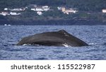 Sperm whale starts a deep dive - near shore waters south of Lajes do Pico (Pico Island, Azores) 04 - stock photo