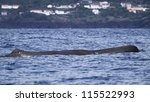 Sperm whale relax after a deep dive - near shore waters south of Lajes do Pico (Pico Island, Azores) 05 - stock photo