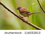 Song Sparrow with insects in its beak - stock photo