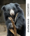 Slolth bear (Ursus ursinus) by branch - stock photo